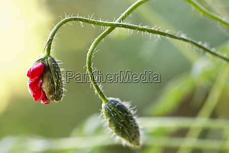 close up of delicate poppy flower