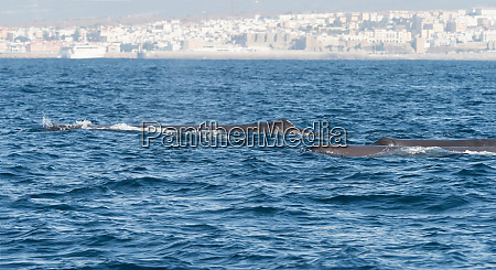 sperm whales in the straits of