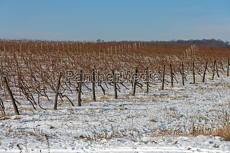 vineyard winter