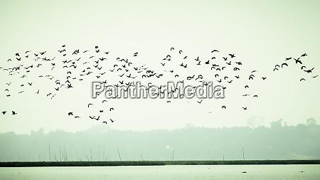 flock of cormorant shag birds flying