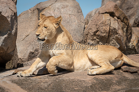 close up of lioness lying down