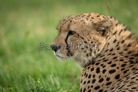 close up of male cheetah head