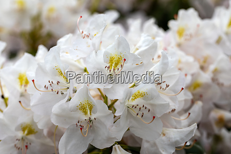 blooming white flowers of rhodenron a
