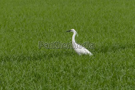 little egret egretta garzetta in a