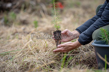 plantation of young trees for forest