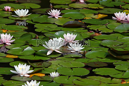 flowers of water lily