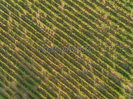 aerial view of grapes fields on