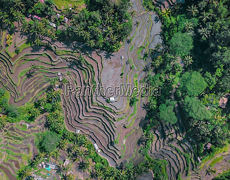 aerial view oftegalalang rice terraces in