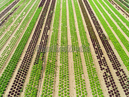 aerial view of lettuce agriculture in