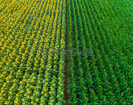 aerial view of rows of sunflower