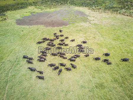 aerial view of a buffalo herd