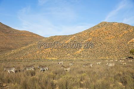 dazzle of zebras grazing in nature