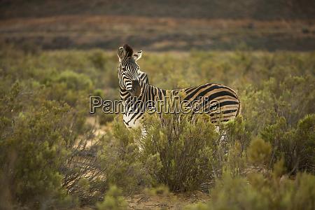zebra in nature reserve touws river