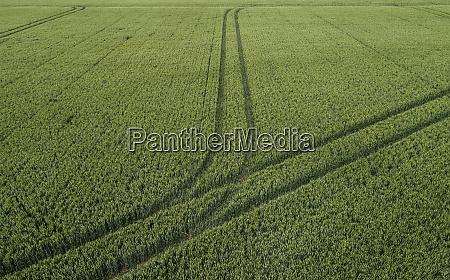 wheatfield with tractor tracks geersdijk zeeland