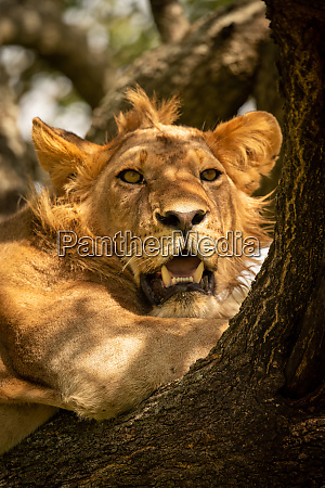 close up of male lion staring