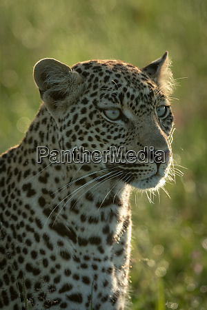 close up of male leopard head