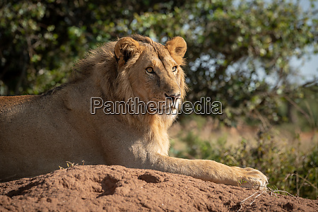 close up of male lion lying