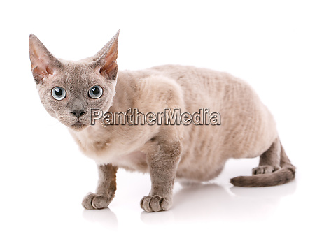 devon rex kitten on a white