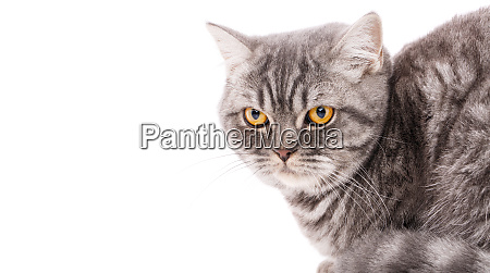 thoroughbred british straight cat on a