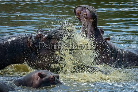 close up of two hippo splashing