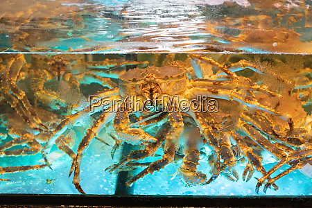 live crab tank