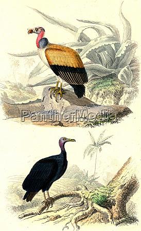 the king vultures vultures vintage engraving