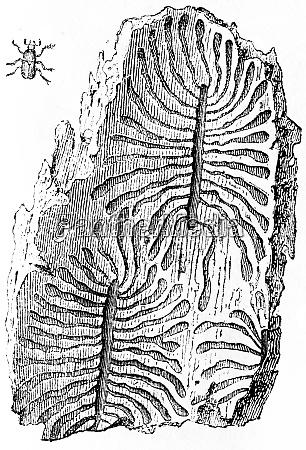 galleries of bark beetles vintage engraving