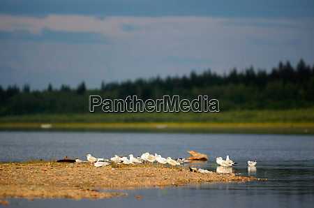 wild northern white birds seagulls sit