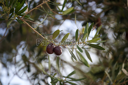 close up of olive fruit in