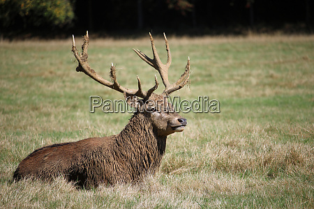 red deer stag lying down
