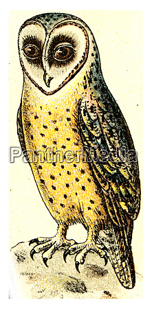 barn owl vintage engraving
