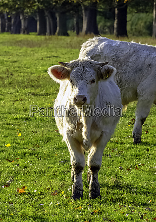 charolais cattle young bulls on