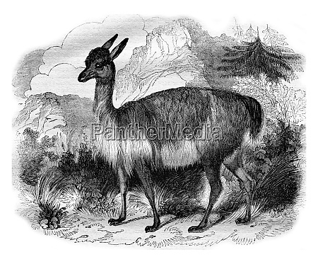 the vicuna vintage engraving