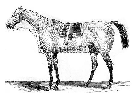 thoroughbred racehorse vintage engraving