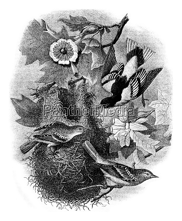 baltimore oriole nest on a tulip