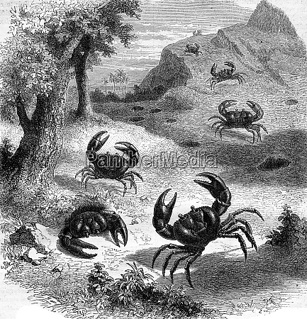earth purple crab jamaica vintage engraving