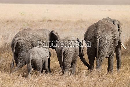 herd of elephants from serengeti national