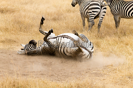 zebra that is rolling on the