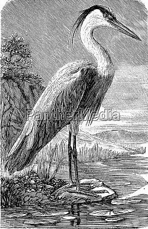 the heron vintage engraving