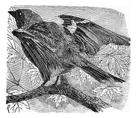 the chaffinch vintage engraving