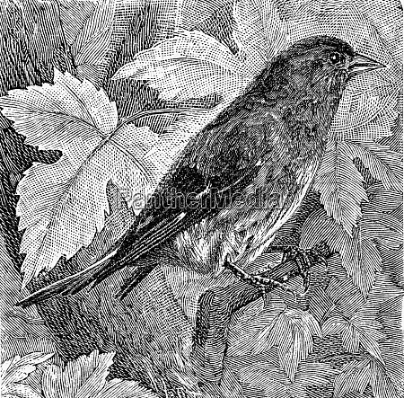 the siskin vintage engraving