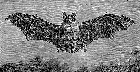 the bat vespertilio murinus vintage engraving