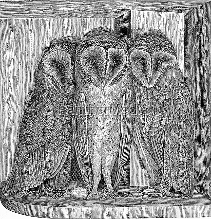 the barn owl strix flammea vintage