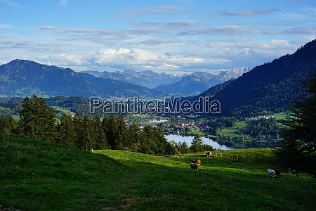 cattle on alpine meadow above lake