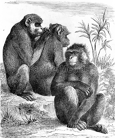 barbary macaques vintage engraving