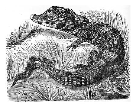 caiman vintage engraving