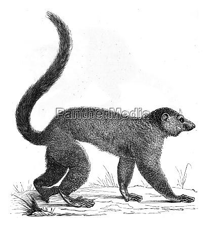 lemur vintage engraving