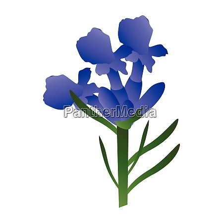 vector illustration of purple lavander flowers