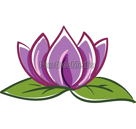 pink and purple lotus with two