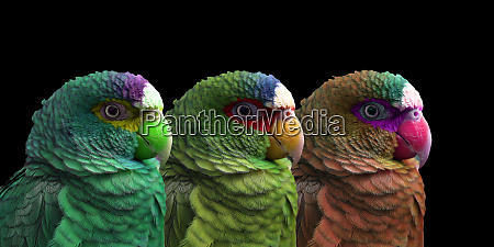 variations on the white fronted amazona